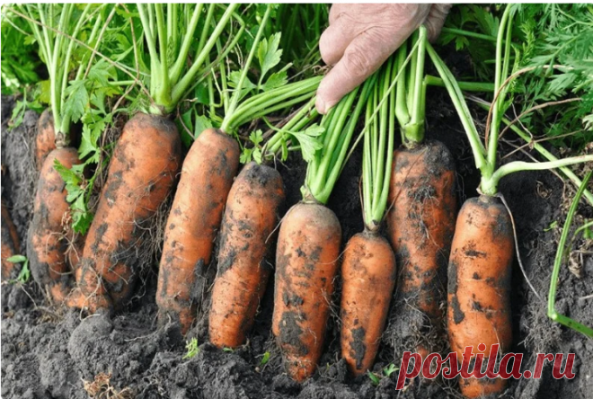 Жалею, что раньше не знала, как подкормить морковь, чтобы выросла крупной, сочной и сладкой Подкормка нужна обязательно, иначе вы получите кривые, треснутые и сухие плоды, которые будут невкусными!