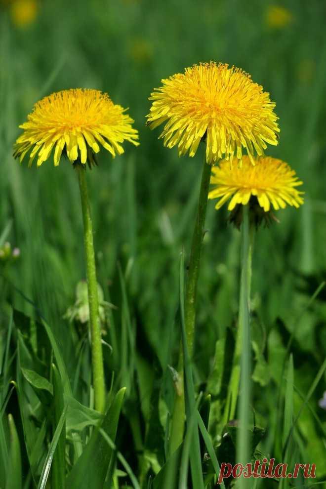 Масло из одуванчиков, которое помогает избавиться от боли и многих недугов - ЛАЙФСТАЙЛ-БЛОГ Для кого-то одуванчики являются сорняками, которые мешают на садовых участках, а для кого-то это настоящий кладезь витаминов. Из них делают вкусный мед, настойки и варенье, а мы делаем полезное масло, которое помогает избавиться от боли в суставах, головной боли и многих других недугов. Это масло считается мощным средством по воздействию на организм. Собирать одуванчики лучше […]