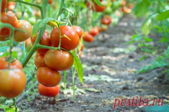 Неприхотливые и урожайные: выращиваем лучшие штамбовые сорта томатов в открытом грунте Добрый день, мой читатель. Штамбовые сорта (гибриды) помидоров не самые, наверное, распространенные. К тому же среди них не так уж много растений подходят для выращивания в открытом грунте. Однако есть все-таки экземпляры, проверенные временем. Именно они могут пополнить коллекцию неопытных дачников, уставших... Читай дальше на сайте. Жми подробнее ➡