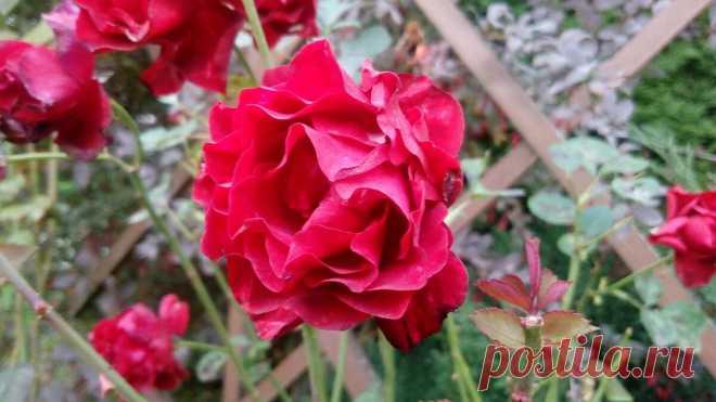 Куст розы вымерз до земли — как помочь подмерзшей и чахлой розе быстро выгнать побеги и пышно куститься | Маленький сад на краю Вселенной | Яндекс Дзен