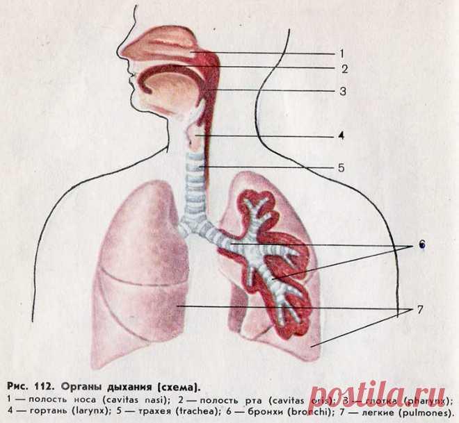 Травы для лёгких и бронхов: травяные сборы для лечения органов дыхания