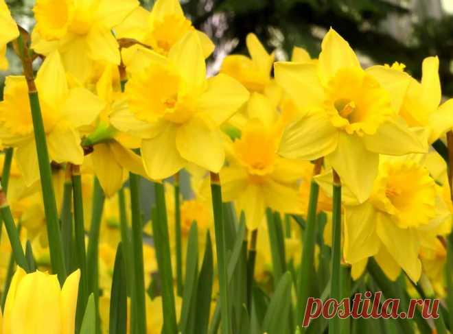 Нарциссы: размножение, посадка и уход в открытом грунте, почему не цветут цветы