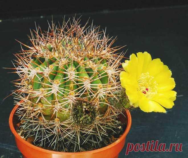 Топ 15 редких и необычных видов кактусов с фото и названиями!
