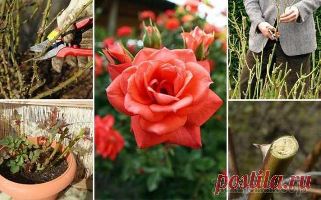Обрезка роз весной – советы для начинающих цветоводов В новом сезоне работы в цветнике начинаются со снятия укрытия и весенней обрезки кустарников и цветов. Особое внимание следует уделить розам, поскольку без тщательного ухода они не смогут порадовать в...
