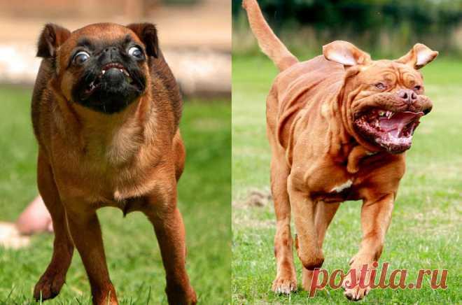 Смешные бегущие собаки Фотограф Ник Ридли (Nick Ridley) из города Эйлсбери, графство Бакингемшир, снял потрясающую серию уморительных портретов бегущих собак. Ник работает профессиональным фотографом собак вот уже 30 лет.