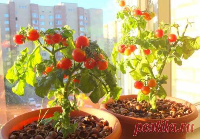 Летом - в огороде, зимой - на подоконнике: 5 овощей, которые можно забрать с грядки в дом