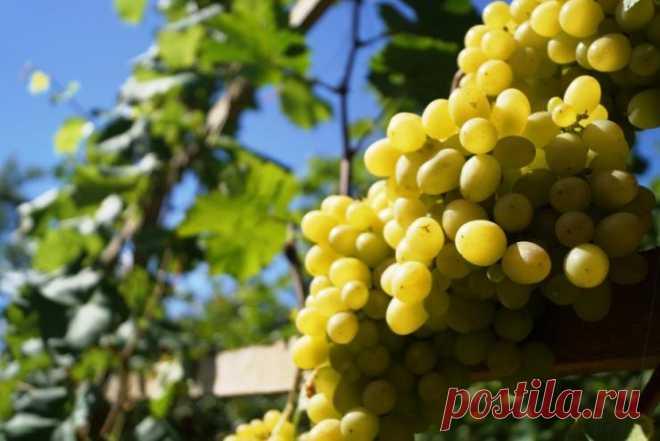 Всё о летней обрезке винограда, как правильно обрезать виноград