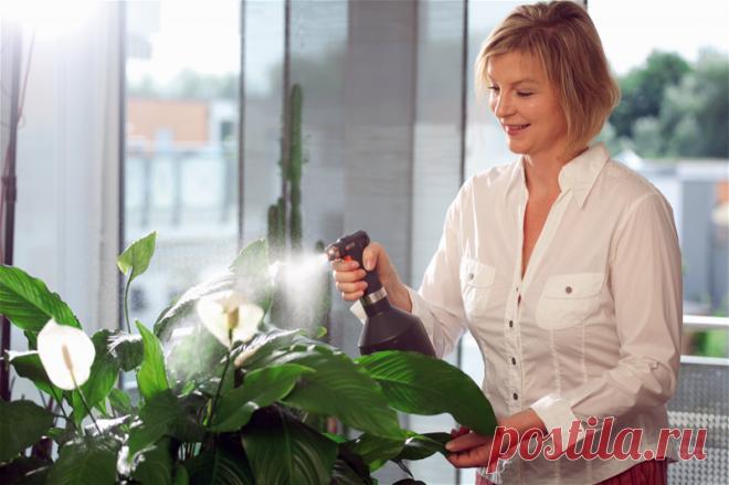 Как правильно ухаживать за спатифиллумом: 5 хитростей Что делать, если спатифиллум не цветет? Расспросили опытных любителей цветов, почитали популярные форумы и нашли ответ на озвученный вопрос. Рассказываем, какие хитрости помогут добиться красивого цветения - самые действенные методы.