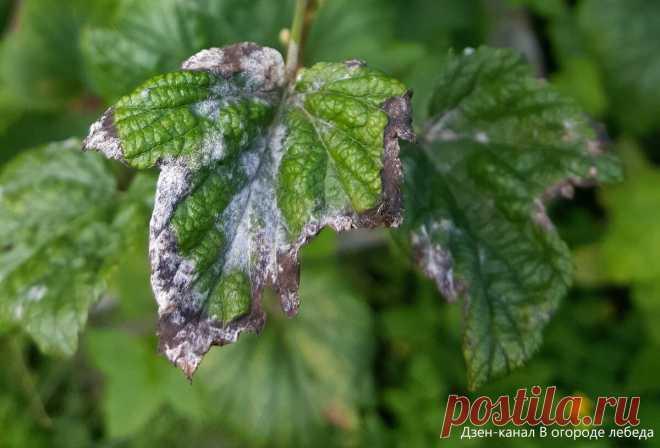 Как подкормить весной смородину и защитить от болезней и вредителей   6 соток