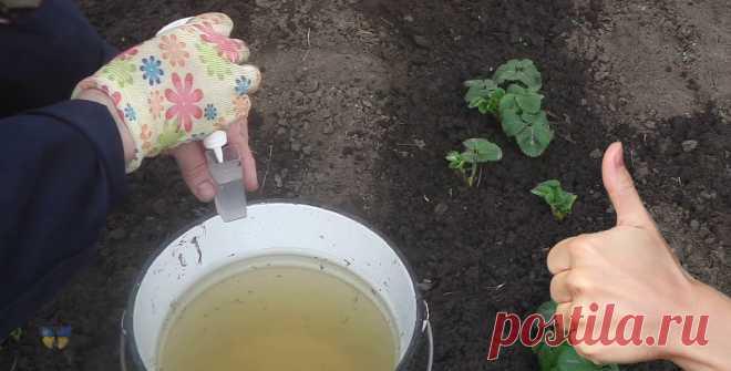 Полийте цим розчином полуницю навесні, щоб ягоди були великі та солодкі Достатньо однієї правильної підгодівлі для полуниці й все літо можна збирати великі та соковиті ягоди.    Правила підгодівлі.    Не варто вносити добриво відразу ж, як тільки зійде сніг. Почекайте, коли ґрунт підсохне й тала вода піде глибше, інакше