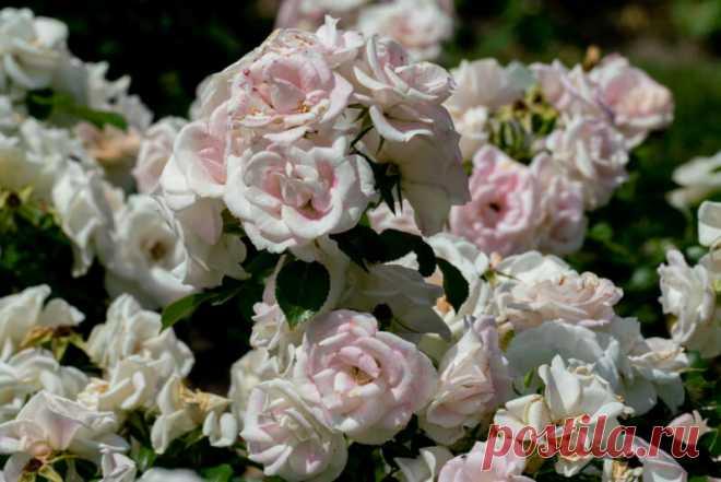 Удобрения для роскошного цветения роз | Азбука огородника | Яндекс Дзен