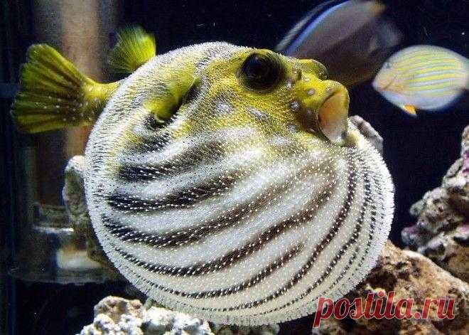 Интересные факты о ядовитой рыбе фугу Повар, приготовивший фугу, в случае отравления клиента должен сделать себе харакири. Второе ее название — рыба-шар, так как в момент опасности так раздувается, что кажется, что сейчас лопнет. Ее также...