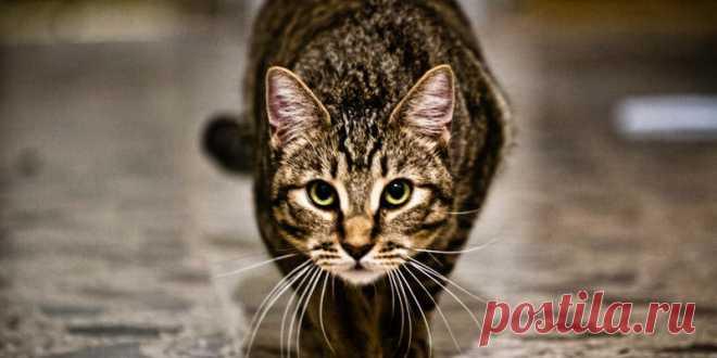 Почему моя кошка... Охотится на меня?   PetTips