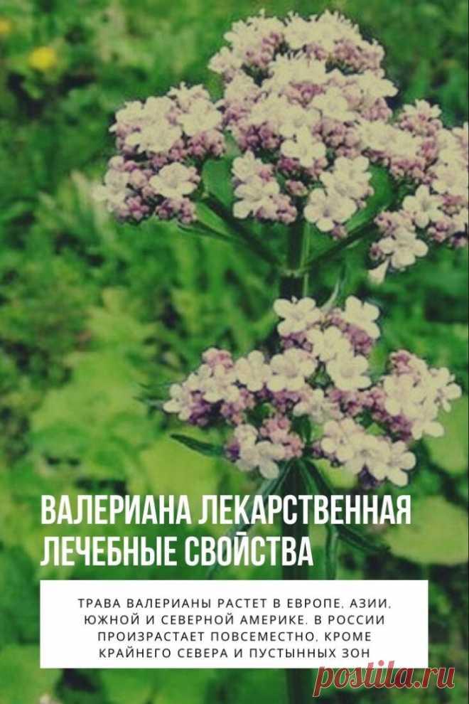 Валериана лекарственная лечебные свойства. Это многолетнее травянистое растение семейства Валериановых. Другие ее названия – кошачий корень, мяун, кошачья трава, одолян, ароматник, козлик, болячник, земляной ладан и др. Название валерианы с латинского (valere) – означает «быть здоровым». Целебные свойства этого растения известны с Древних Времен и использовались Гиппократом, Авиценной, Диоскоридом. Оно считалось лучшим успокоительным средством и чудо растением, усмиряющим мысли, успокаивающим се