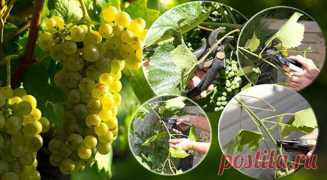 4 самых необходимых операции на винограде для большого урожая на Supersadovnik.ru