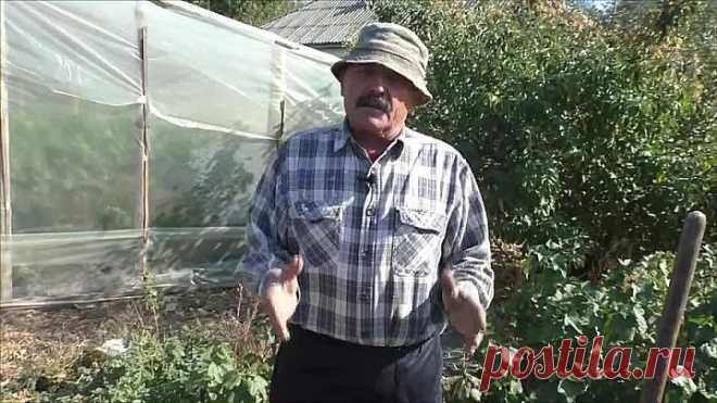 Как правильно посадить саженец смородины, что бы он на 100% прижился!
