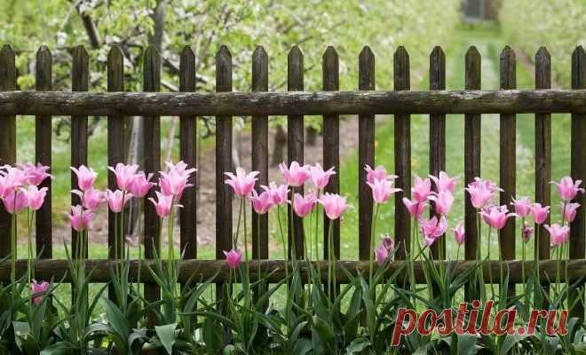 Чем подкормить тюльпаны весной и после цветения   В цветнике (Огород.ru)