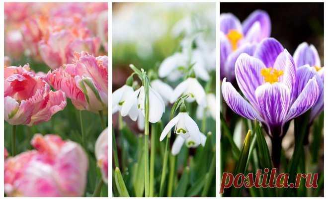 Primaveral bulboso – la foto, el nombre, los consejos de la plantación y la cultivación | En el macizo de flores (Огород.ru)