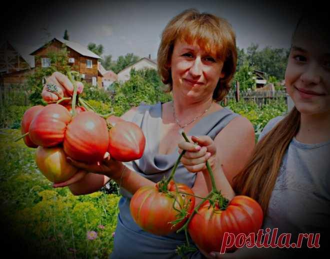 1 рецепт для подкормки томатов, нужна единственная подкормка, а эффект от нее на весь сезон. Делюсь наработками.   Николай Ивануник   Яндекс Дзен