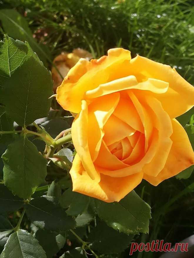 Канадские розы — находка для холодных регионов. 5 шикарных сортов   Азбука огородника   Яндекс Дзен