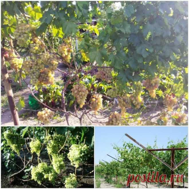 Для чего нужны шпалеры и какие виды опор для винограда существуют.   Лоза виноградная   Яндекс Дзен
