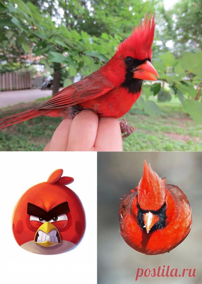 Красный кардинал: Та самая птичка из Angry Birds. И она реально оказалась безумной! | WPRISTAV.RU | Яндекс Дзен