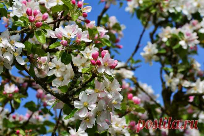 Борная кислота во время цветения увеличит урожайность | ЗАГОРОДНАЯ ЖИЗНЬ | Яндекс Дзен