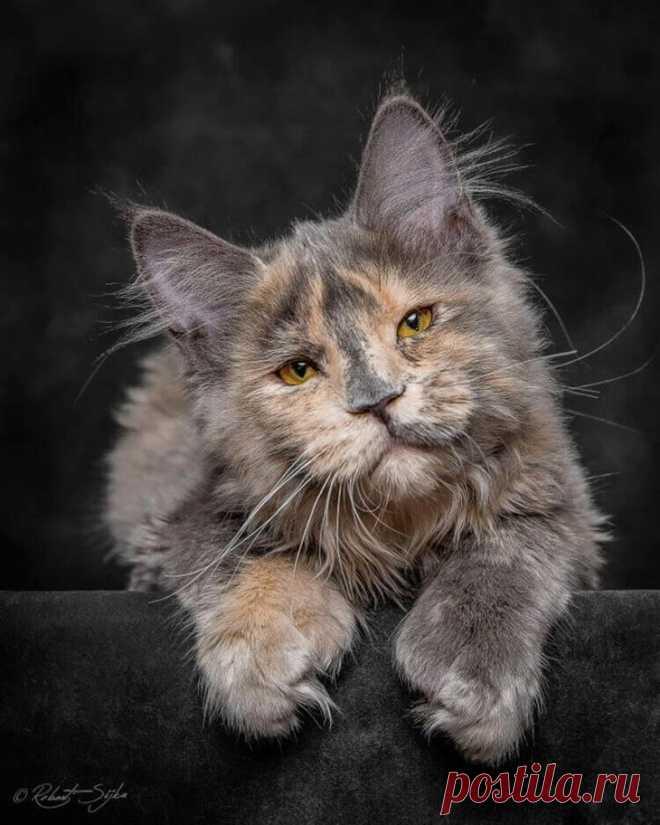 Картинки, картинки мейн куна кота