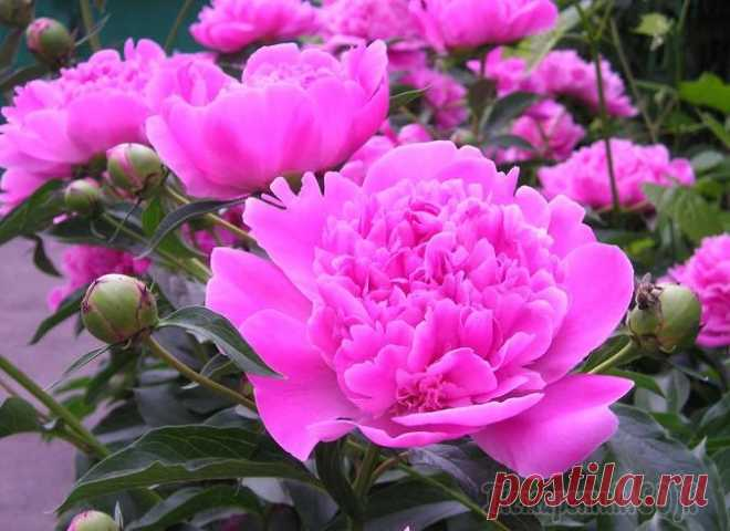 How to grow up smart peonies on the site? Secrets and features of leaving