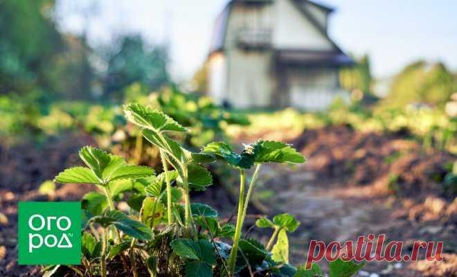 Чем подкормить клубнику после сбора урожая   В саду (Огород.ru)