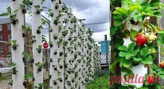 Клубника в трубах: выращиваем правильно...