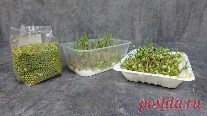 Как вырастить микрозелень на подоконнике за 5-6 дней без земли | Мастер Сергеич | Яндекс Дзен