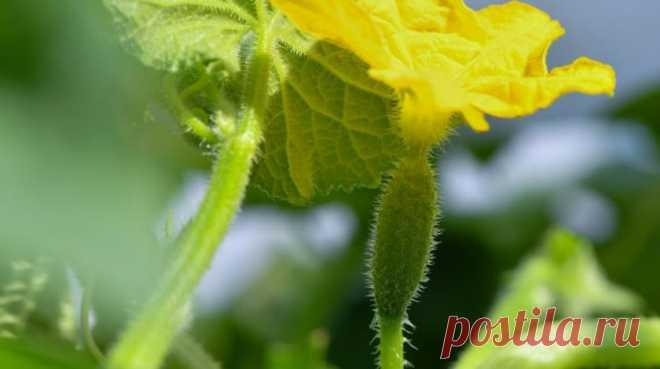 Как ухаживать за огурцами, чтобы плодоносили до октября :: Огород