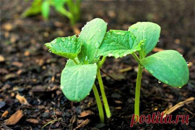 Что делать, если огурцы плохо растут  Огурцы относительно просты в выращивании, поэтому любимы многими огородниками. Для их успешного культивирования прежде всего необходимы тепло и влага. Их избыток или недостаток может привести к остан…