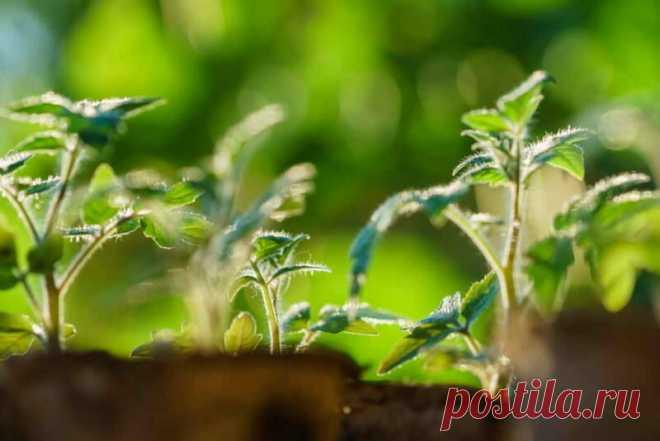 Можно ли получить превосходный урожай томатов, не ухаживая за ними? Добрый день, мой читатель. Вырастить богатый урожай томатов — не такое простое дело, как может показаться на первый взгляд. И многие дачники и огородники знают это не понаслышке. Сначала вам надо вырастить рассаду, затем правильно выбрать погодные условия, чтобы эту рассаду высадить в открытый грунт. Но даже если вы учтете и примете все необходимые меры, […] Читай дальше на сайте. Жми подробнее ➡