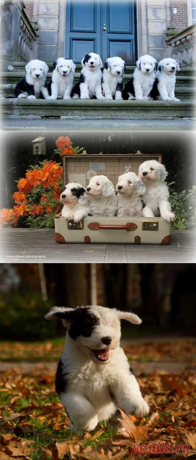 Шесть очаровательных щеночков бобтейла : НОВОСТИ В ФОТОГРАФИЯХ