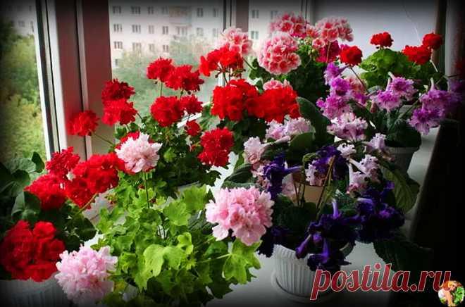 Ошибки при уходе за геранью, из-за которых цветы быстро вянут и пропадают в зимнее время. Рассказываю как их не допустить | Огородница из Тулы I Евгения | Яндекс Дзен