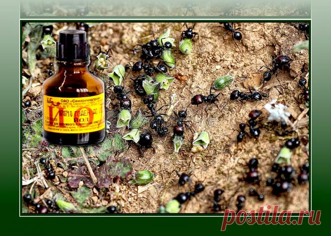 Если бы я пораньше узнала, что от муравьев и тли поможет избавиться обычный йод, не тратила бы время и силы на другие способы | Рукоделкино | Яндекс Дзен