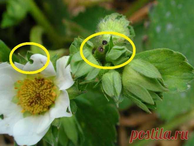 Чем обработать клубнику от долгоносика