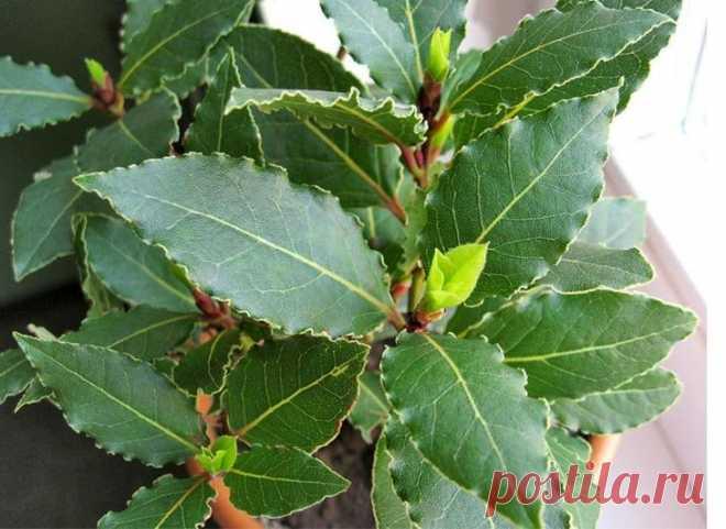 Лавровый лист выращивание в домашних условиях Одним из самых популярных вечнозеленых растений, которое выращивается в домашних условиях, остается цветок лавр. Он, может быть, маленьким кустиком или миниатюрным деревом. В древности, венки из лавро...
