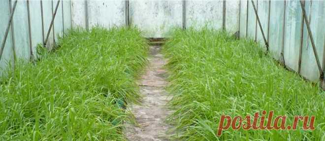 Повышаем плодородие почвы в теплице, делюсь рабочим секретом, чтоб быть всегда с урожаем   Садоводство с Элен   Яндекс Дзен