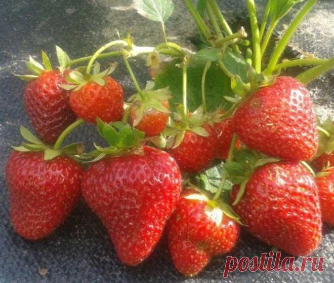 Подкормка для обильного плодоношения клубники