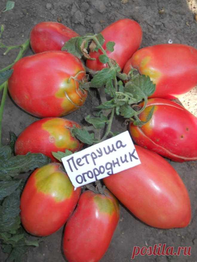 томат петруша огородник фото куста как актер
