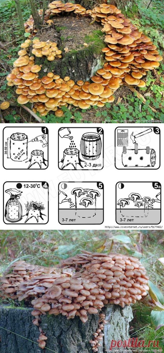 Приятные хлопоты садовника - вкусные и полезные грибы на столе!