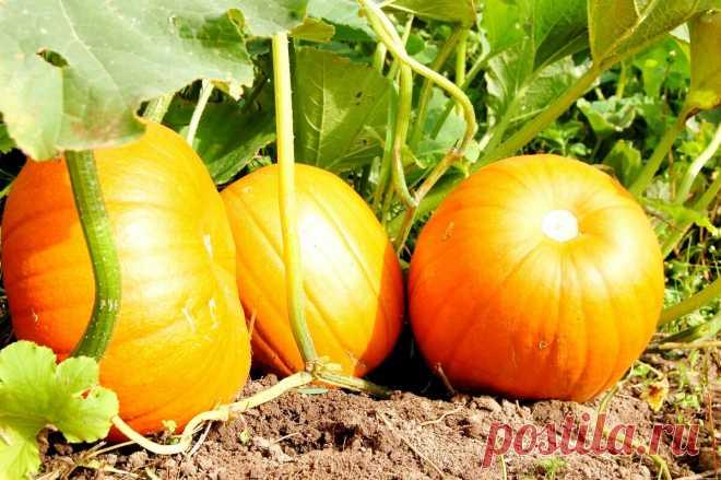 Секреты, как ускорить созревание тыквы и успеть собрать урожай до первых заморозков | AGRONOMU | Яндекс Дзен