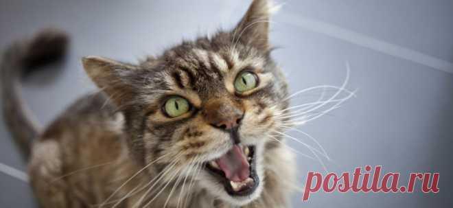 Кошка кричит по ночам и не даёт спать   PetTips