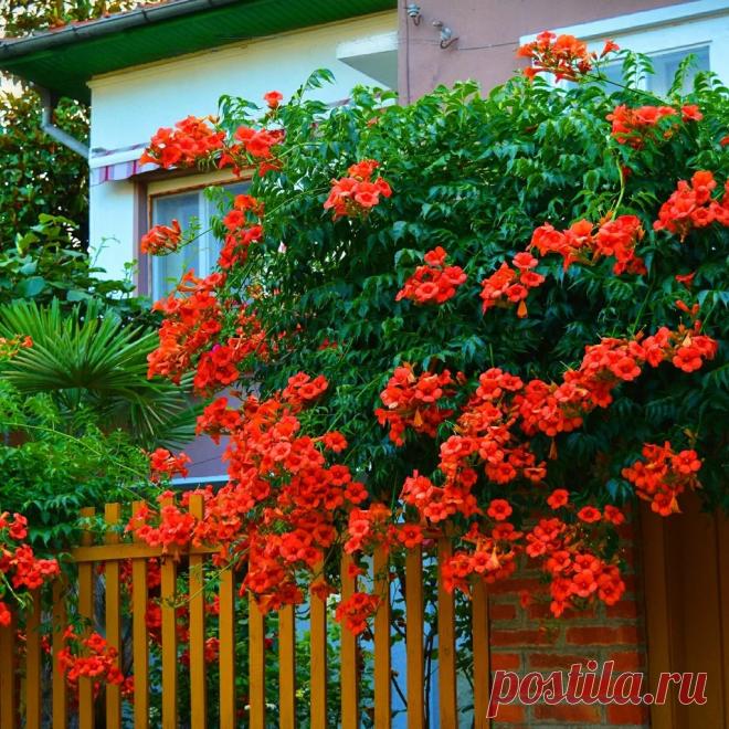 Неприхотливый кустарник, цветущий все лето | уДачный сад | Яндекс Дзен