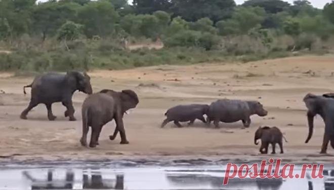 La elefanta atacaba a los hipopótamos por los colmillos, protegiendo al cachorro de la RIA Novosti