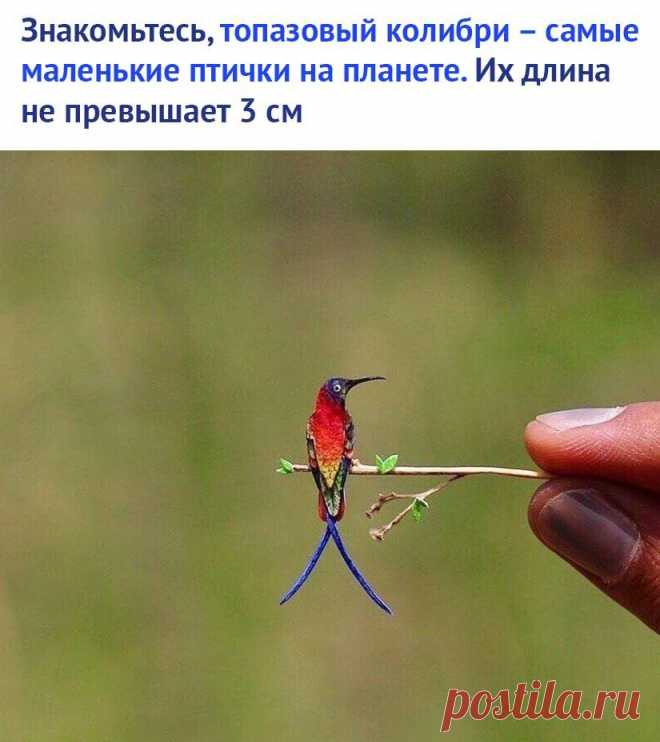 Колибри – самые маленькие птицы, обитающие на планете. По своим размерам напоминают бабочек или мотыльков. Вес самого маленького колибри составляет 2 грамма.