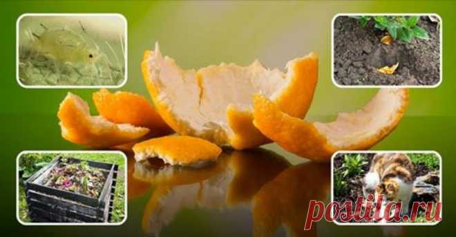 Orange-peels – advantage for a garden and a kitchen garden, features of application at the dacha